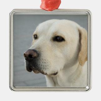 Labrador retriever dourado ornamento quadrado cor prata