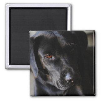 Labrador retriever ímã quadrado