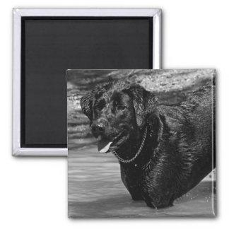Labrador retriever na água ímã quadrado