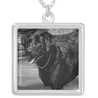 Labrador retriever na colar da água