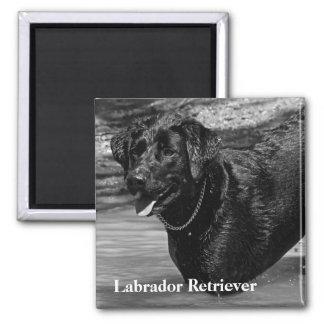 Labrador retriever no texto da água ímã quadrado
