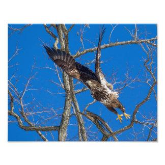 Lançamento juvenil da águia americana fotografia