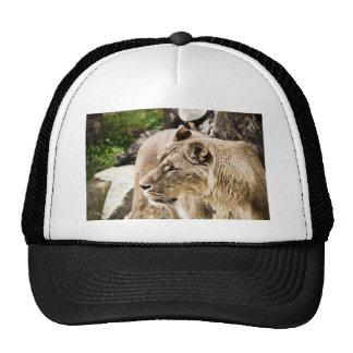 Leão Boné
