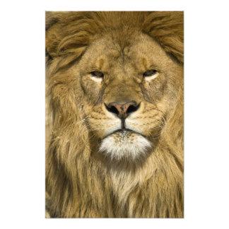 Leão de Barbary do africano, Panthera leo leo, um  Fotografias