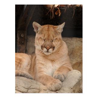 Leão de montanha cartões postais