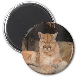 Leão de montanha imãs