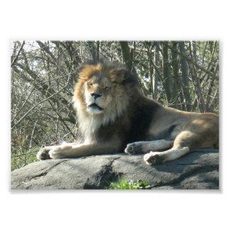 Leão feliz impressão de foto