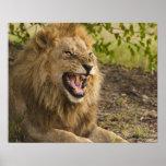 Leão masculino que snarling (Panthera leo), Okavan Poster