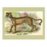 Leão-Tigre (híbrido de tigris do Felis de leo do Cartão Postal