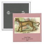 Leão-Tigre (híbrido de tigris do Felis de leo do F Boton