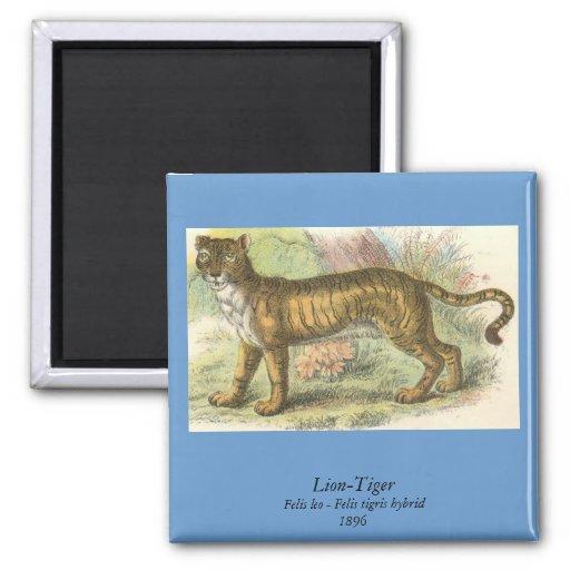 Leão-Tigre (híbrido de tigris do Felis de leo do F Ímã Quadrado