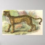 Leão-Tigre (híbrido de tigris do Felis de leo do F Impressão