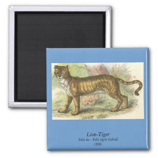 Leão-Tigre (híbrido de tigris do Felis de leo do Ímã Quadrado