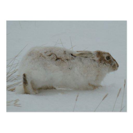 Lebre de sapato de neve R0007 Cartoes Postais