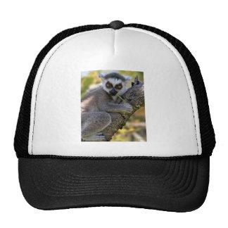 Lemur atado anel boné
