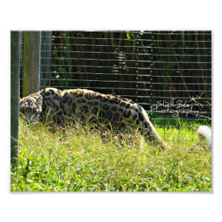 Leopardo de neve no Prowl Impressão De Foto