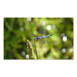 libélula azul do dasher impressão de foto
