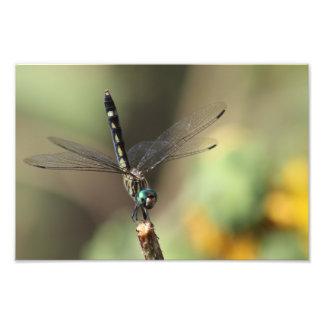 Libélula de Thornbush Dasher, girassóis borrados Foto