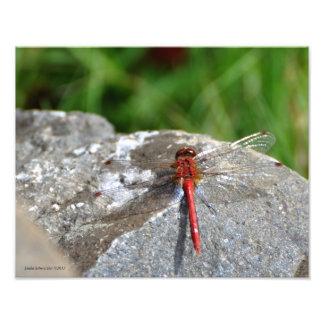 libélula do vermelho 11X14 Fotografias