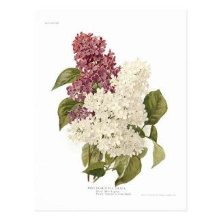 Lilacs Cartão Postal
