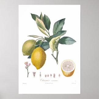 Limão Pôster
