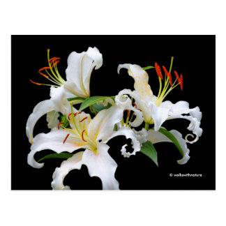 Lírios orientais brancos elegantes de Casablanca Cartão Postal