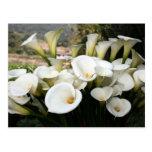 Lírios que crescem na plantação do lírio de Calla, Cartão Postal