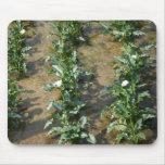 Lírios que crescem na plantação do lírio de Calla, Mouse Pad