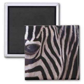 Listras da zebra ímã quadrado