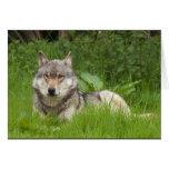 Lobo canadense cartao