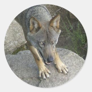 Lobo cinzento europeu adesivo redondo