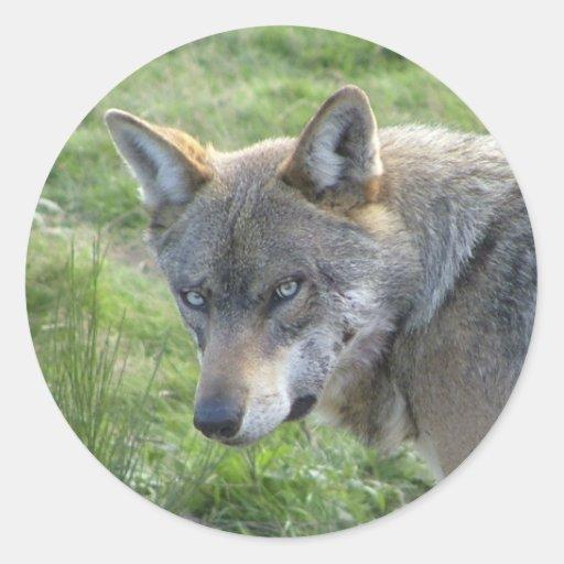 Lobo cinzento europeu adesivos em formato redondos