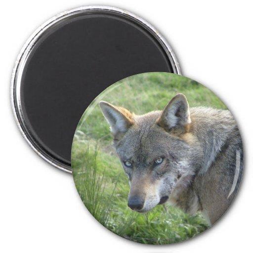 Lobo cinzento europeu imã de refrigerador