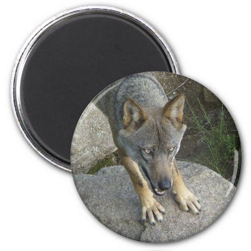 Lobo cinzento europeu imas