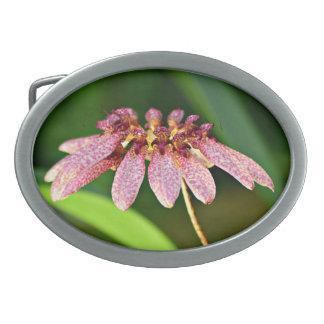 Longiflorum de Bulbophyllum