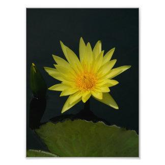 Lotus amarelo Waterlily Foto