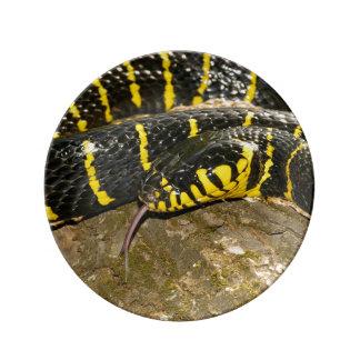 Louça De Jantar Dendrophila de Boiga ou cobra dos manguezais