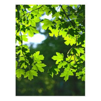 Luminoso verde das folhas de bordo cartão postal