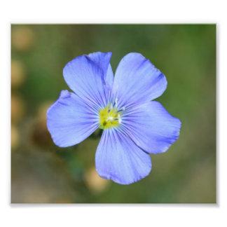 Luz - flor selvagem azul impressão de foto