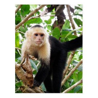 Macaco em Costa Rica Cartões Postais