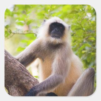 Macaco na selva do parque nacional de Ranthambore Adesivo Quadrado