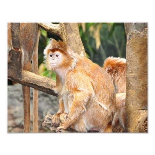 Macacos do doce de fruta impressão de fotos