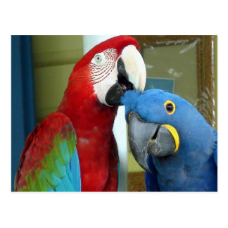 Macaws vermelhos e azuis coloridos cartão postal