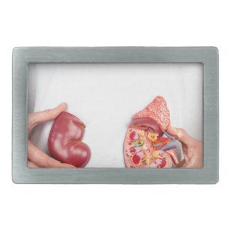 Mãos que guardaram o modelo do órgão humano do rim