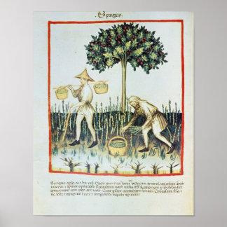 Máquinas desbastadoras do aspargo, século XIII Impressão