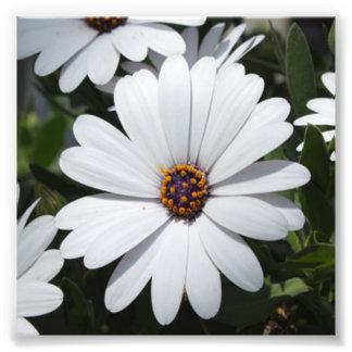 Margarida branca na flor impressão de foto