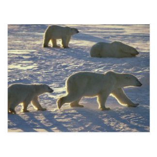 Maritimus do Ursus dos ursos polares) duas fêmeas, Cartão Postal