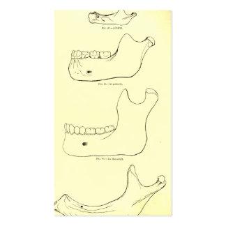 Maxila da anatomia | do vintage mais baixa cartão de visita