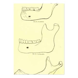 Maxila da anatomia | do vintage mais baixa cartão de visita grande