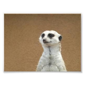 Meerkat Impressão De Foto